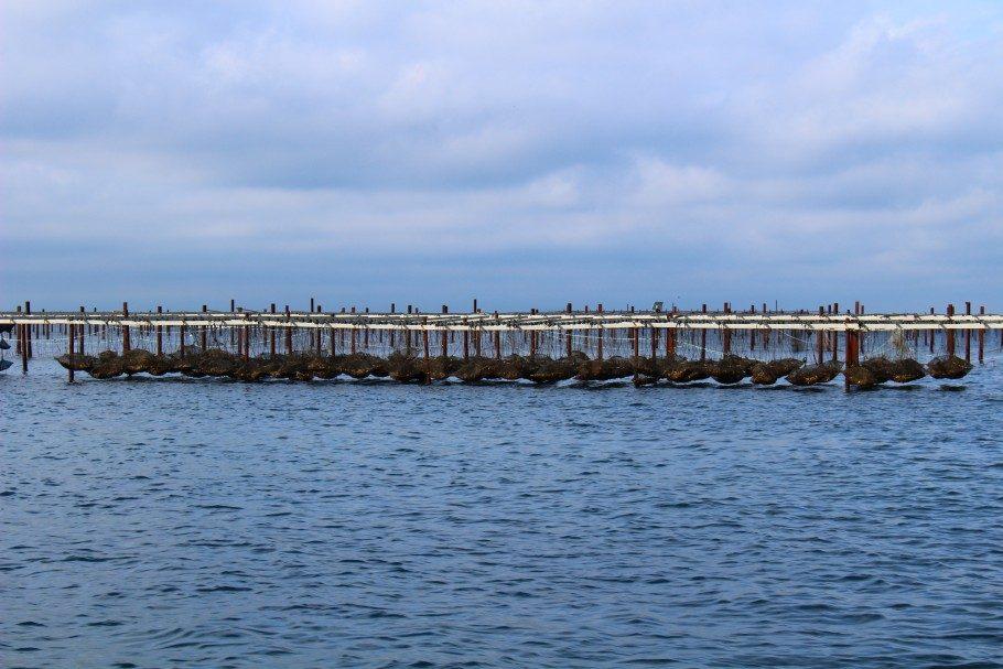 étang de thau huitres