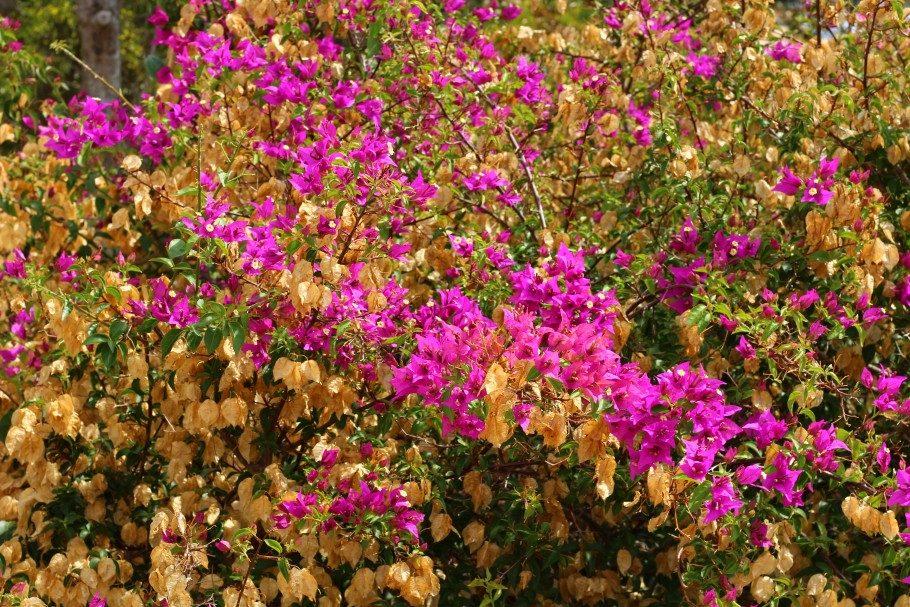 fleurs var