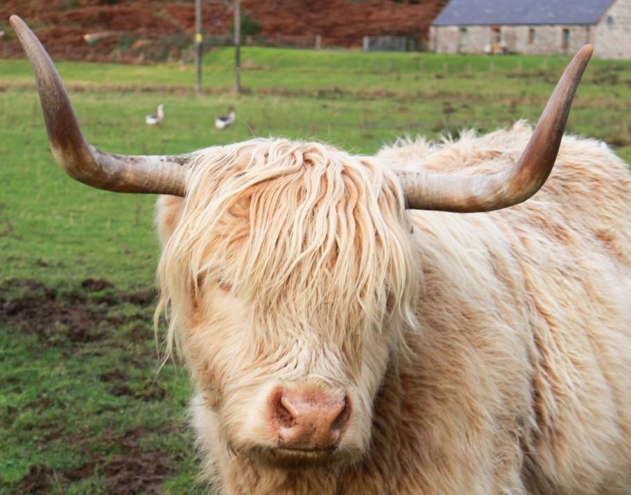ou voir des vaches écossaisses