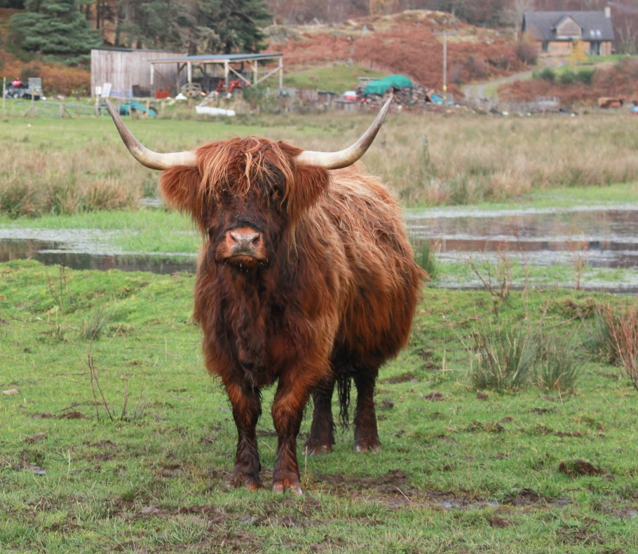 voir des vaches ecossaises