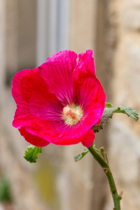 rose de Grignan