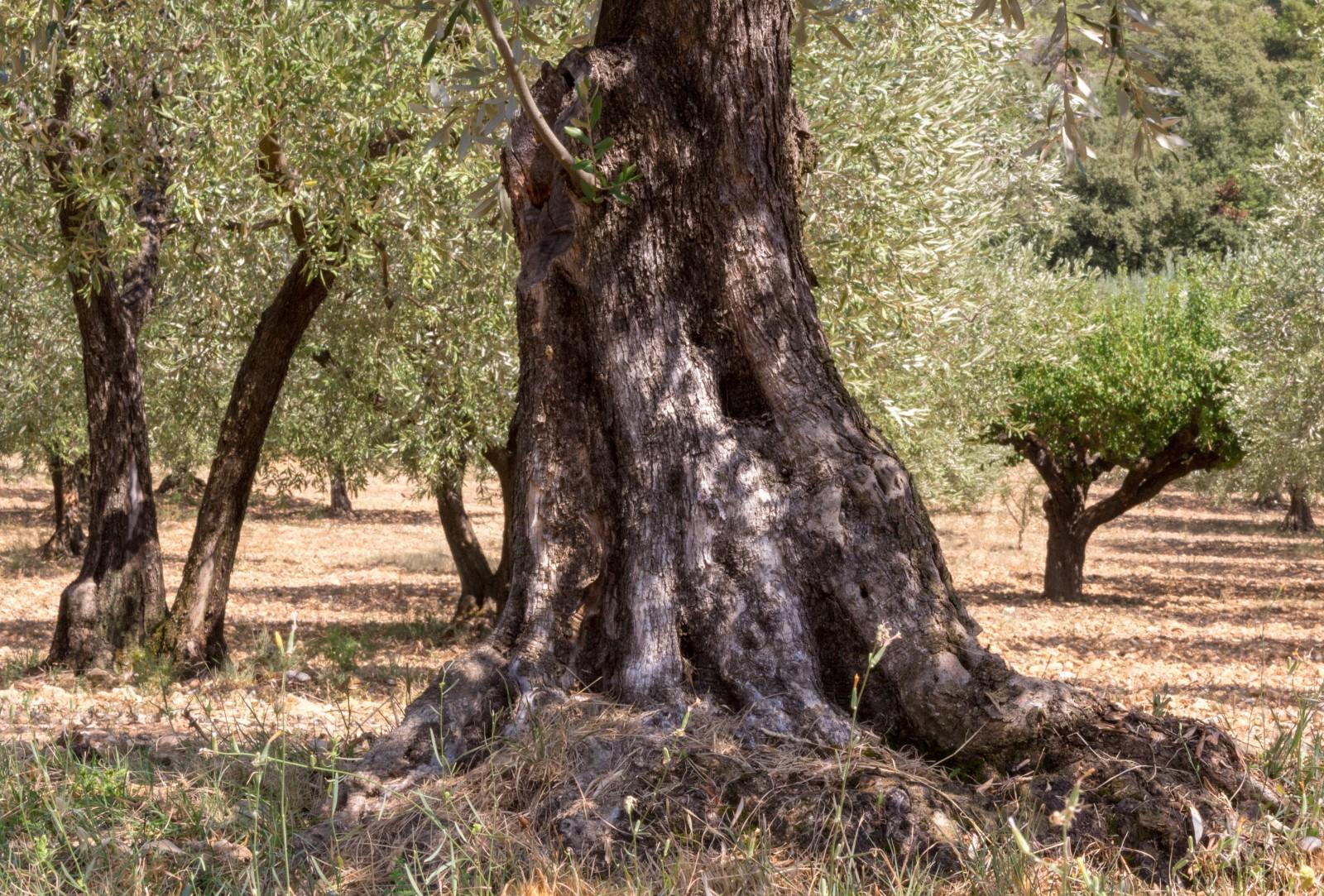 olives de Nyons acheter
