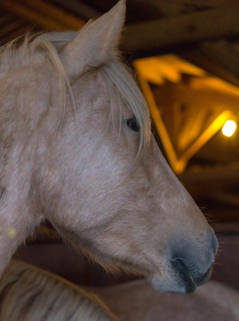 chevaux cacharel