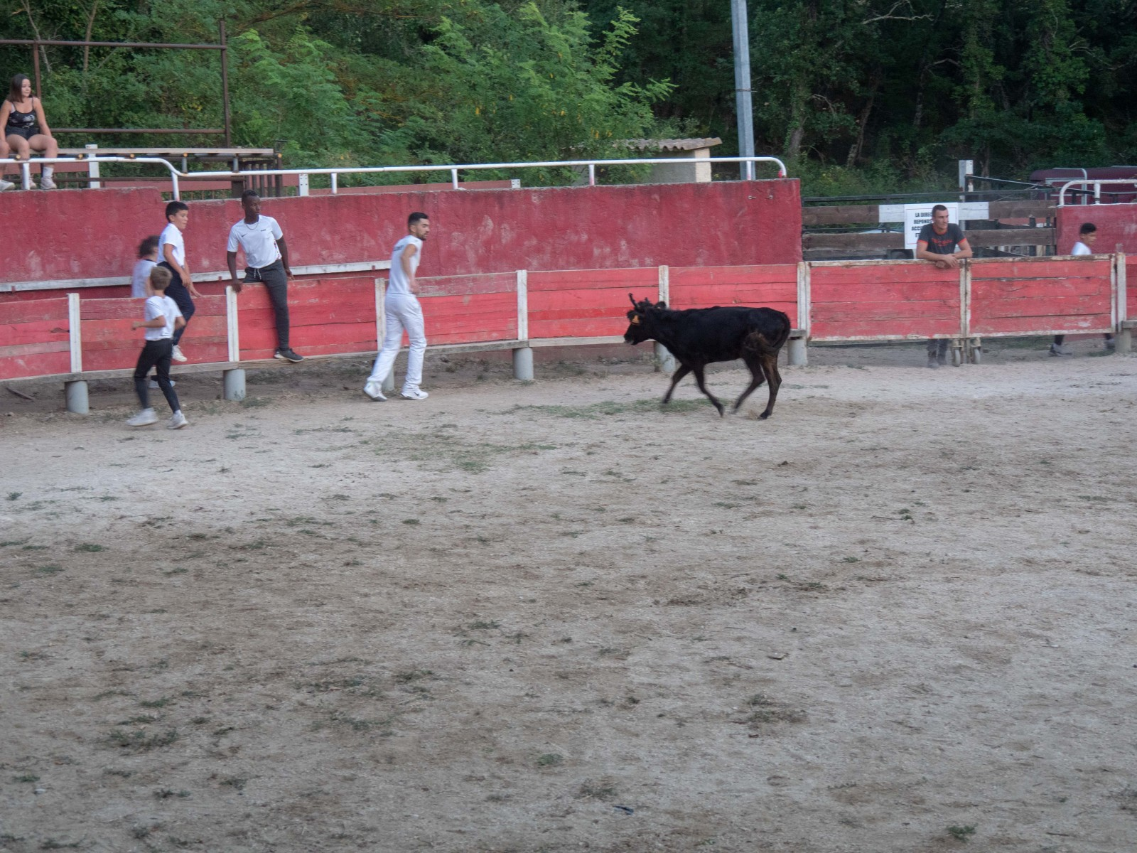 taureaux provence occitane